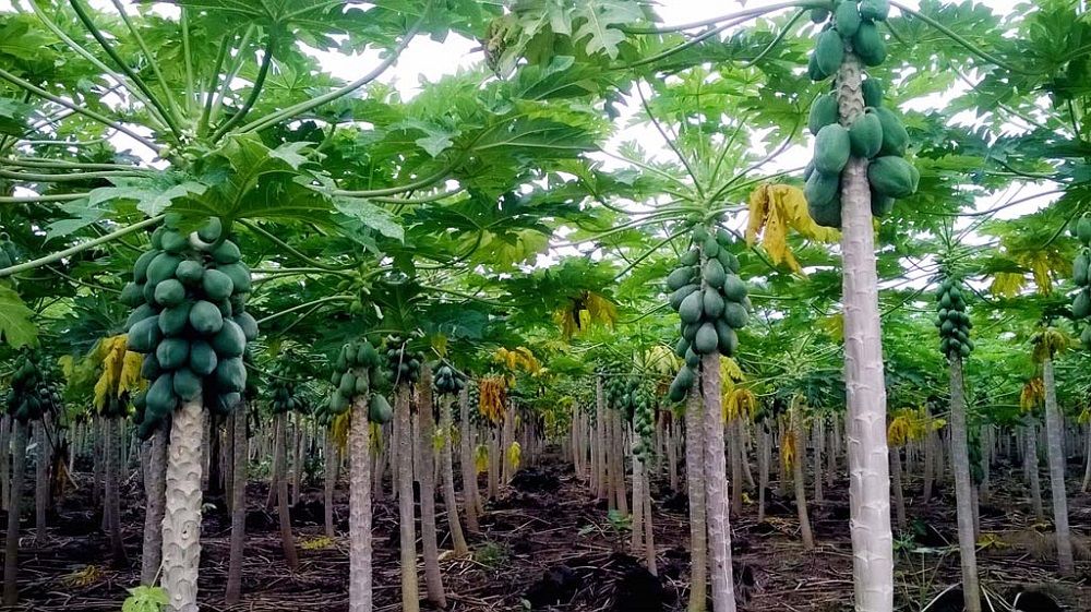 papayers en agriculture biologique